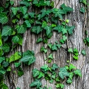 image for topic 'Kill ivy on trees'