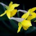 image for topic 'Plant daffodils'